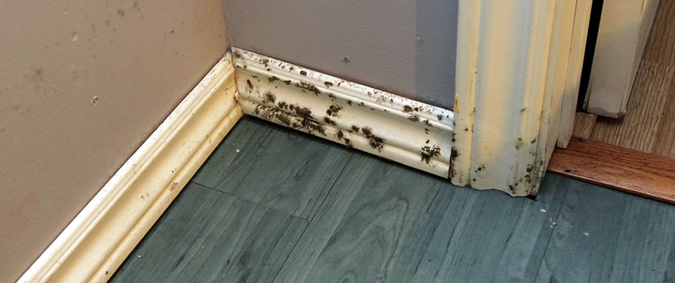 Mold Removal, Chicago, St. Louis